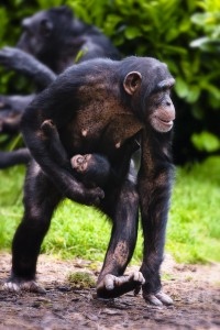 Chimps at Chester Zoo