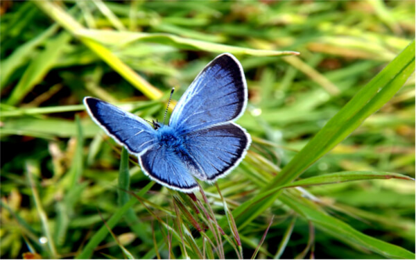 Holly blue butterfly