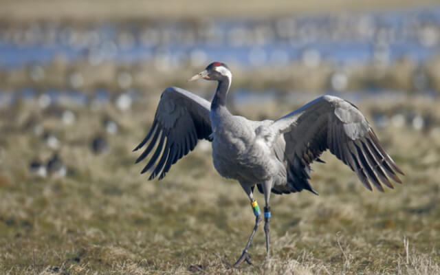 Norfolk Nature Reserves - Wildlife - Common Crane in Hickling Broad