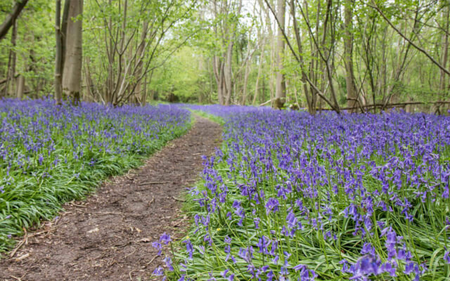 Norfolk Nature Reserves - Wildlife - bluebells at Foxley Wood