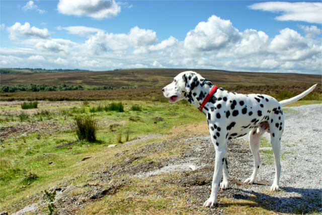 Dog overlooking North York Moors National Park