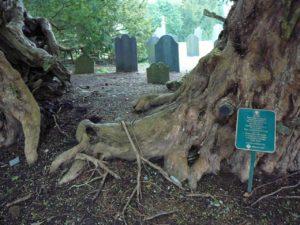 The Llangernyw Yew Tree