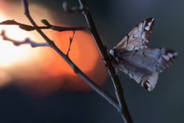 kentish glory moth