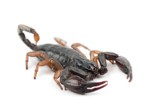 yellow-tailed scorpion