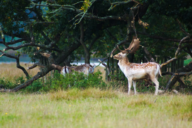 deer and stag in powerham castle grounds, devon