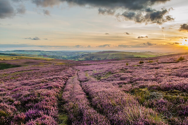 Field of purple heather in the Peak District National Park, Derbyshire