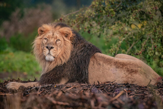 Asiatic lion Iblis steps into a huge new home at Chester Zoo