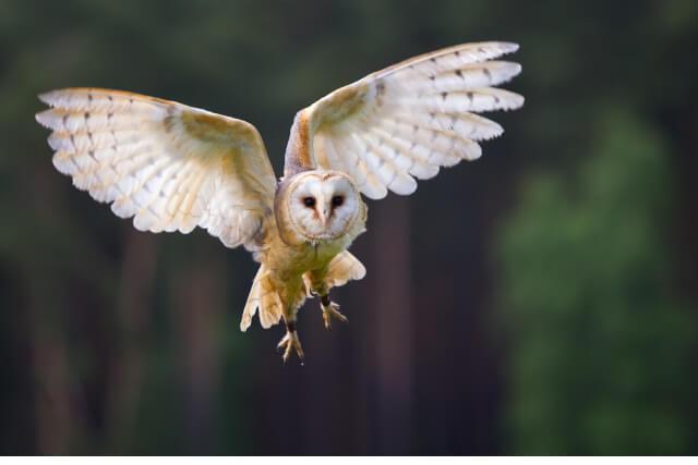 Owl mid flight
