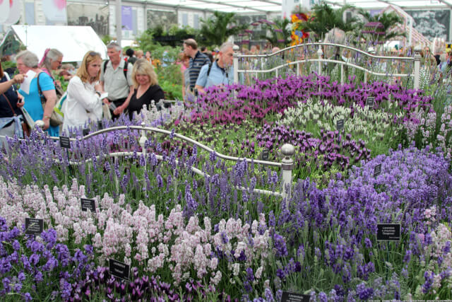 lavender in flower show marquee
