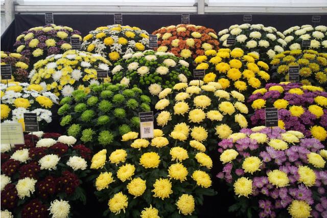 shrewsbury flower show flowers