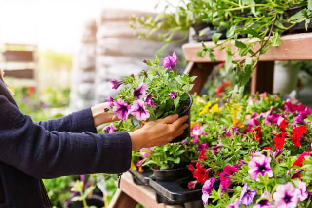 woman picking petunias