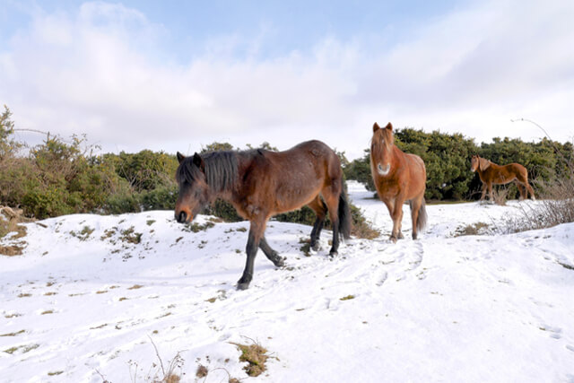 Wild horses walking in the new forest national park