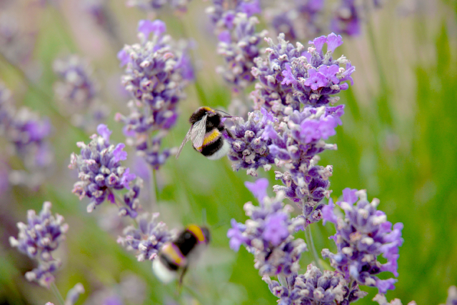 Bumblebees flying and pollinating