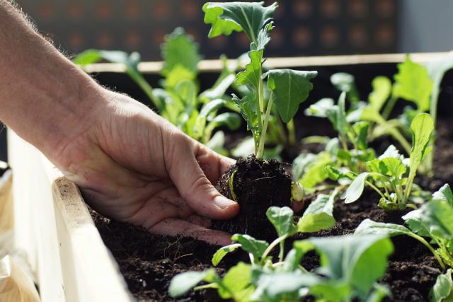 planting vegetable seedlings