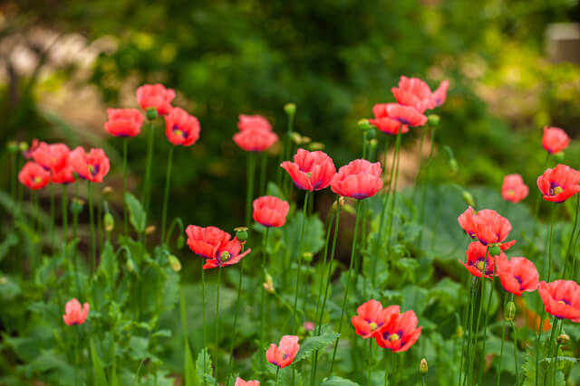 bright flowering poppies