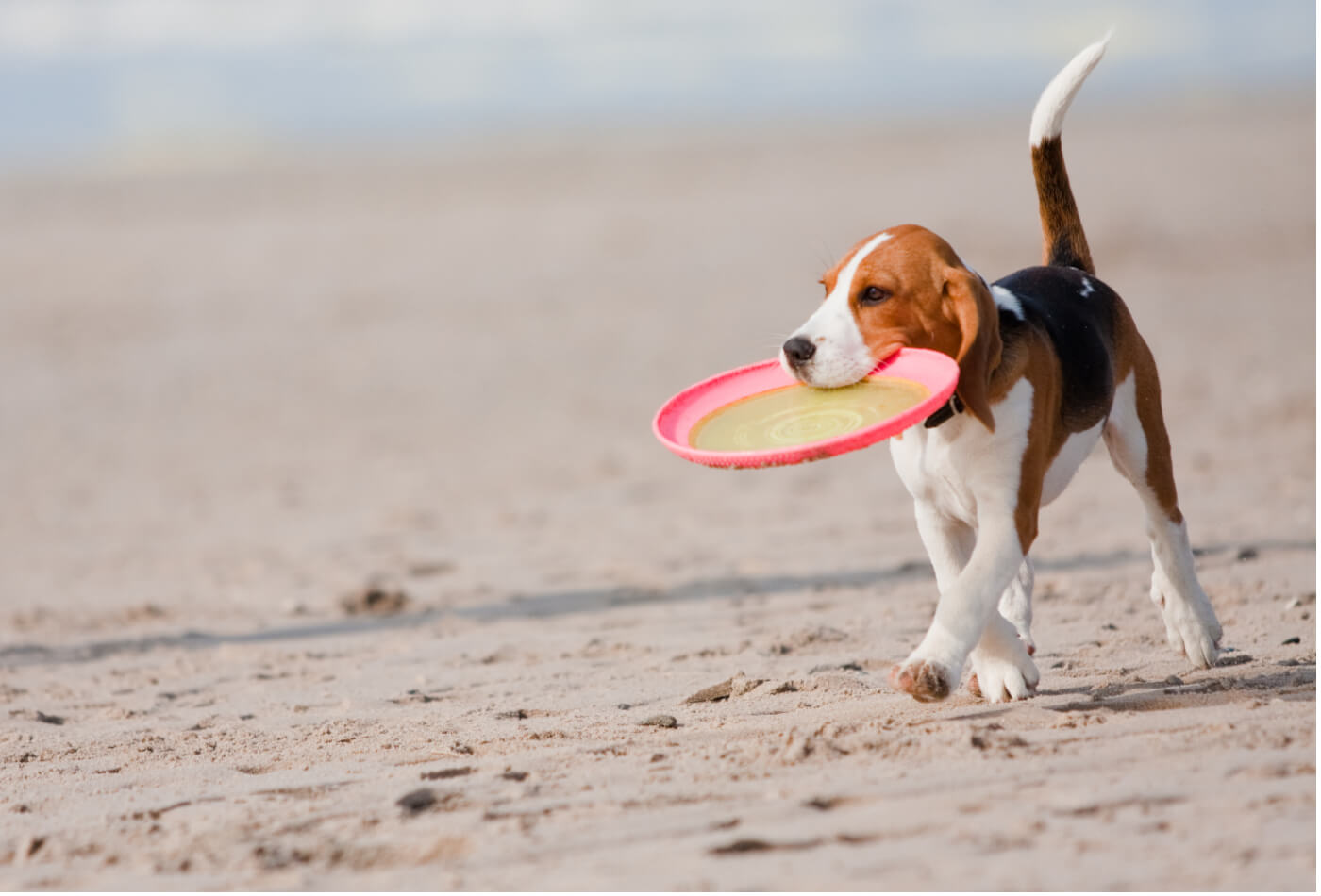 Beagle puppy playing with a Frisbee on the beach