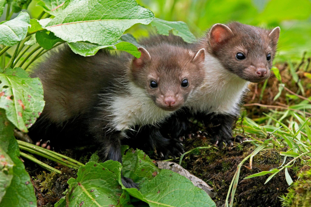 Photo of Mustelids from iStock
