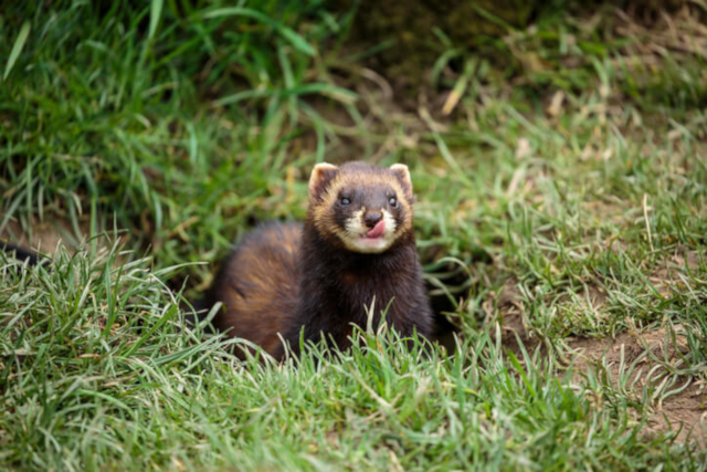 Picture of a Polecat taken from iStock
