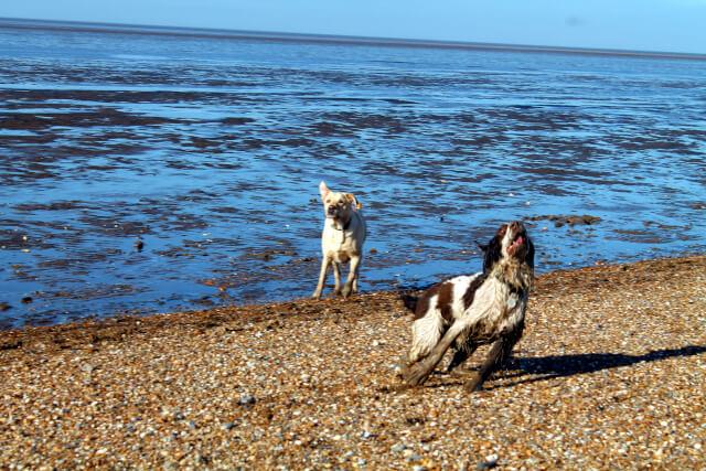 Dogs running on Snettisham Beach
