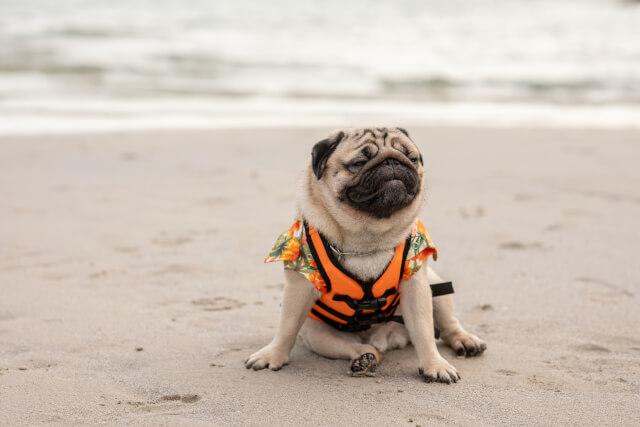 Pug on Titchwell Beach