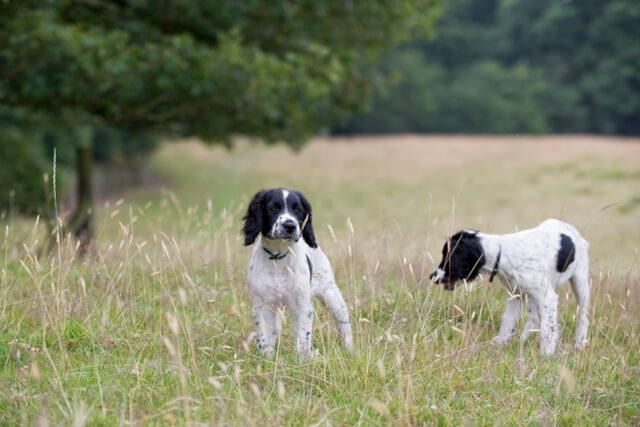 Dogs walking through meadow