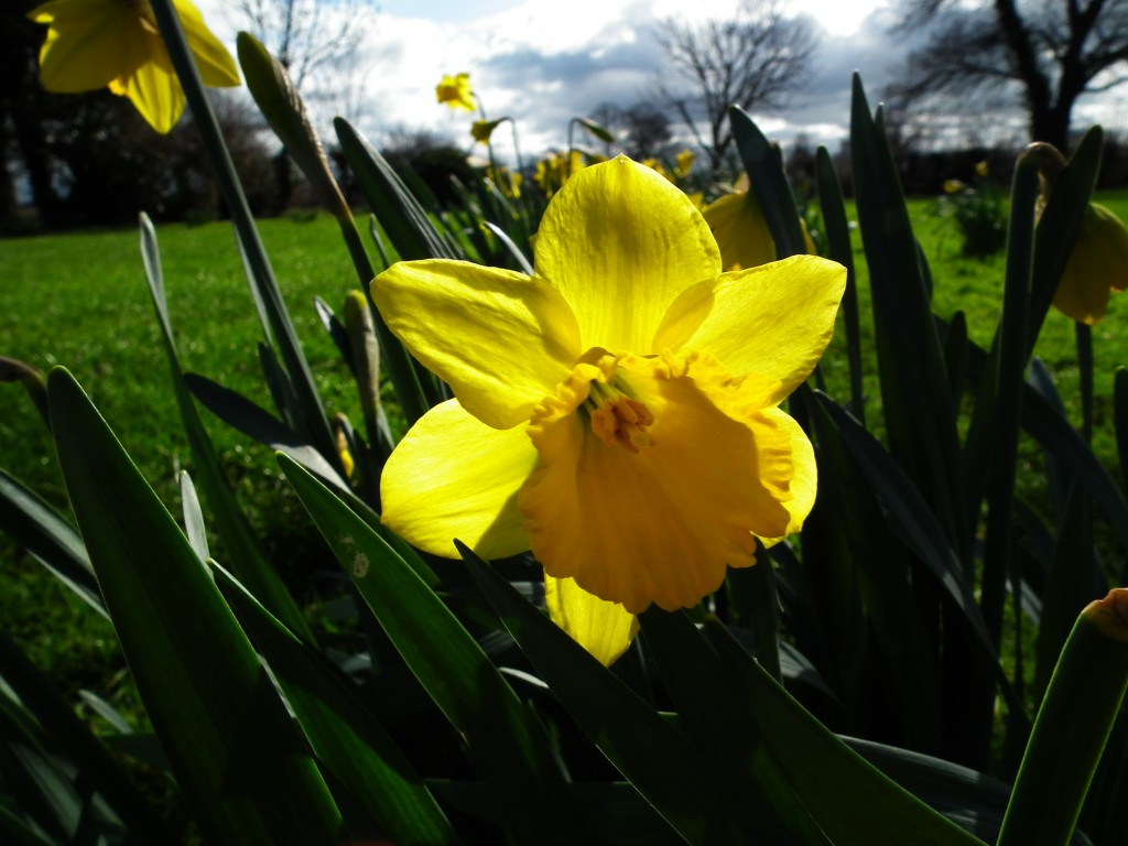 Beautiful Spring Daffodils