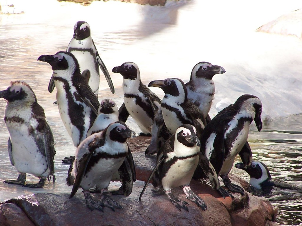 Penguins at Newquay Zoo in Cornwall