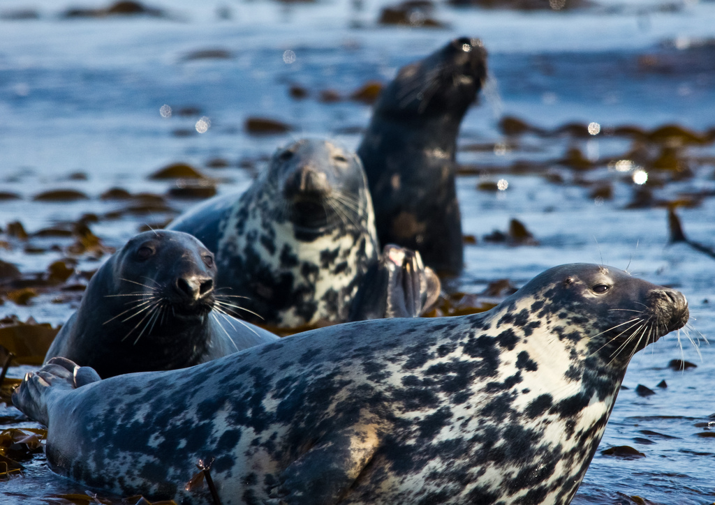 Seals in Farne Islands, Northumberland