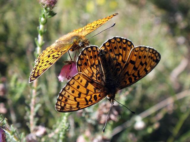 Pearl Bordered Fritillary butterflies