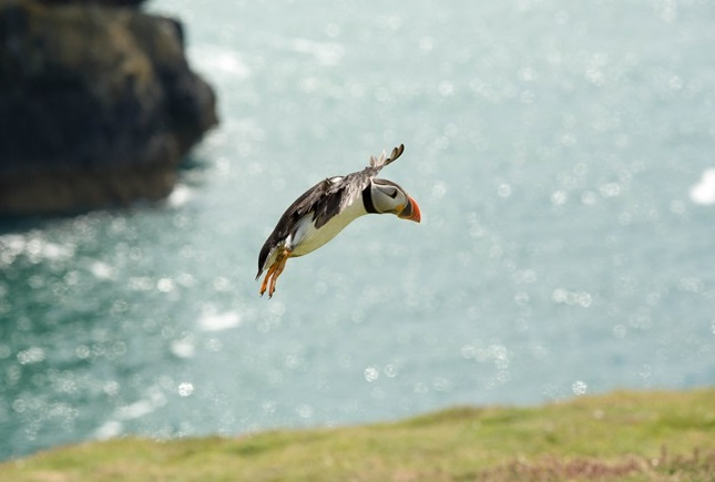 Puffin At Skomer Island