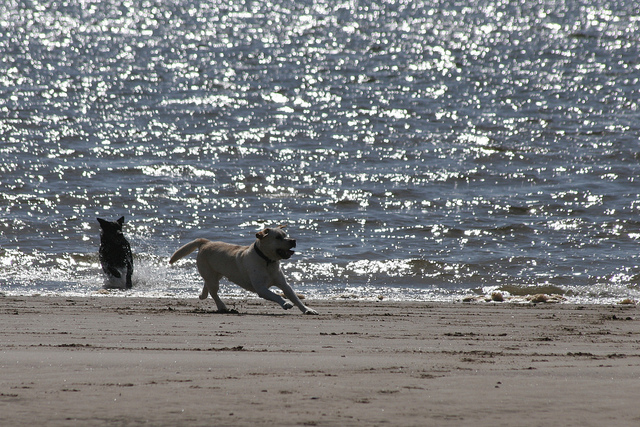 Dogs playing on Irvine beach - image via Flickr.