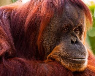 Halloween Blog - Orangutan