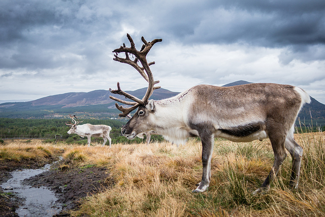 Reindeer in Scotland – Via Flickr