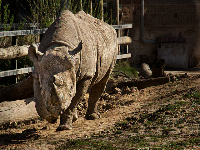 Rhino - Chester Zoo | by Dan Cook Archived | CC BY