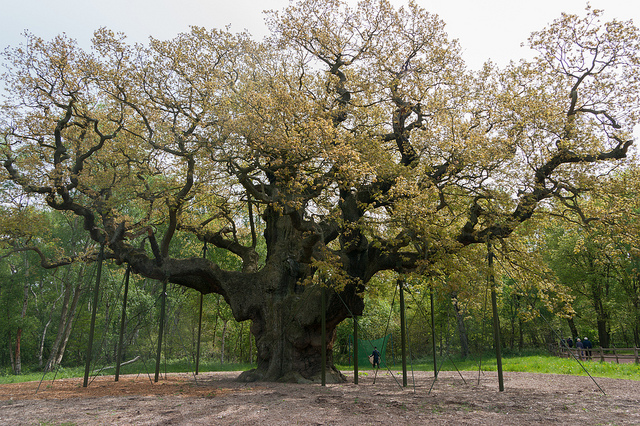 Major Oak in Sherwood by Jerzy Kociatkiewicz / CC BY-SA 2.0