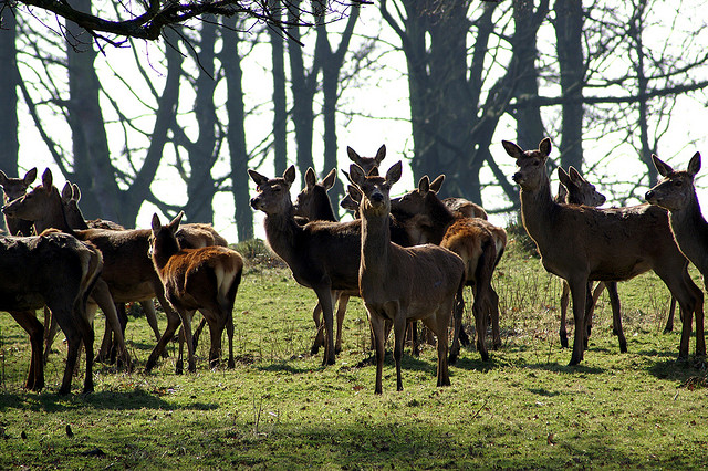 Deers at Tatton Park