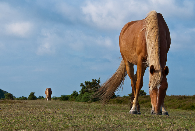 Pony, New Forest by Chris_Parfitt, CC 2.0