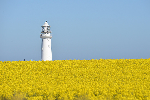 White lighthouse against  bright blue sky and yellow field of flowers.