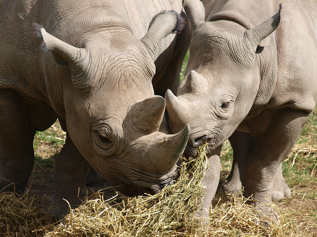 Mother and baby rhino eating hay at Chester Zoo