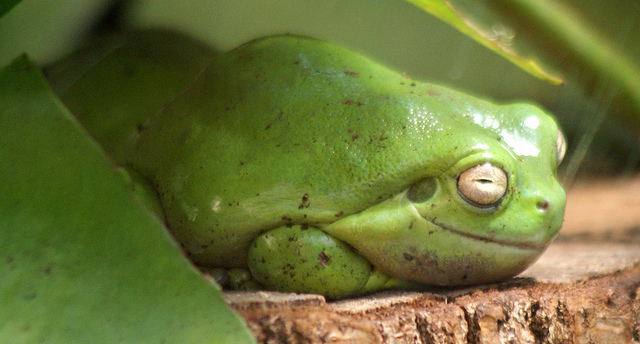 Green tree frog resting on a log at the Slimbridge WWT