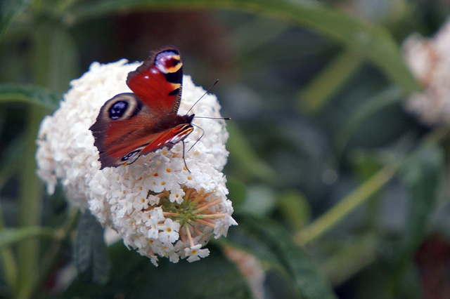 Close up of a Peacock Butterfly on top of a white flower at the Martin Mere WWT