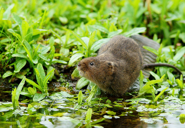 Water Vole resting on a log amongst greenery by the side of the water near Arundel WWT