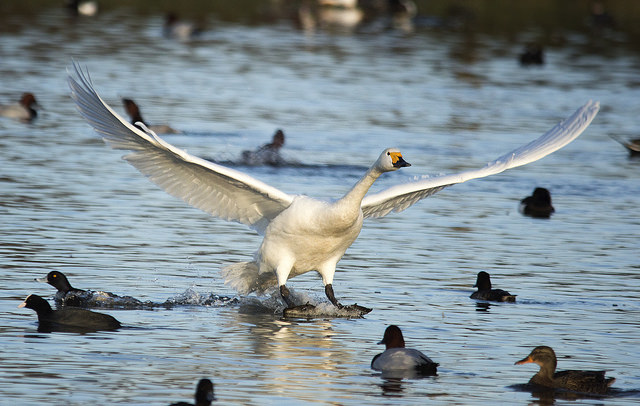 Whooper swan landing on the water amoungst ducks at the Slimbridge WWT