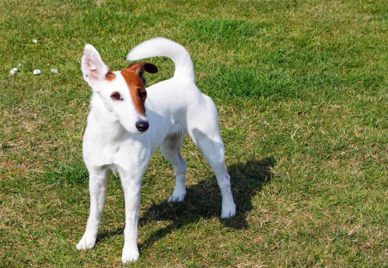 smooth-fox-terrier-dog-1