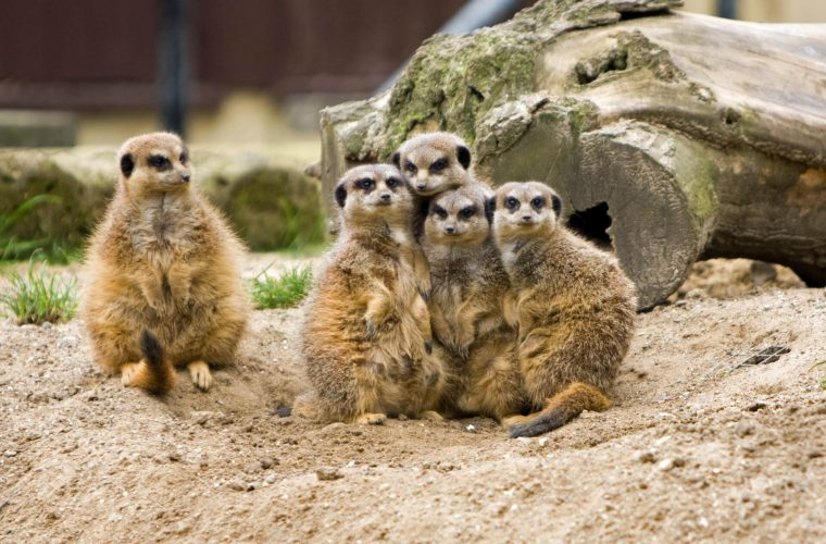 meerkat-family-group