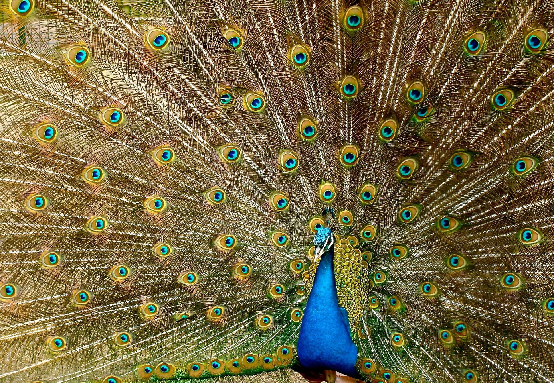 peacock-plumage-bird-peafowl-45911-1