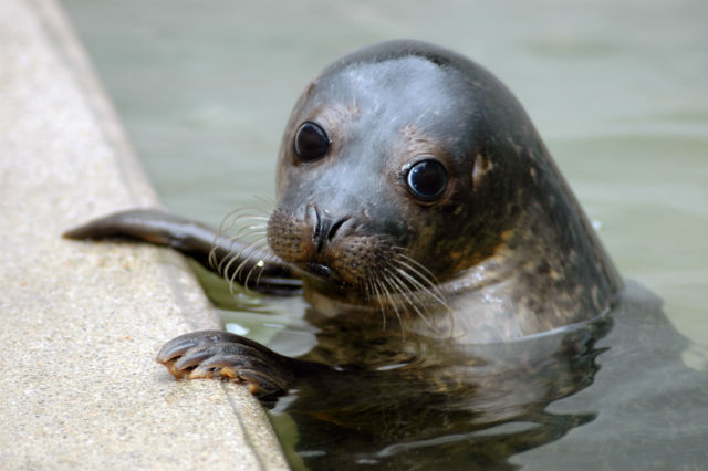 A seal from the Cornish Seal Sanctuary